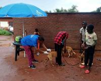 A dog being vaccinated against rabies and the data captured using the GARC Data Logger (GDL).