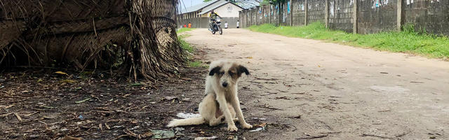 Abandoned dog, hunched over and at risk for rabies in Zanzibar.